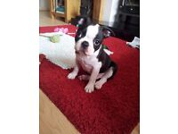 Beautiful boston terrier puppies for sale only 3 left 1 boy and 2 girls