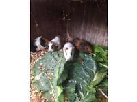 Baby guinea pig 🐖 8 Weeks old