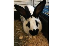 Beautiful lion head X English spot bunnies available from 8th august very friendly