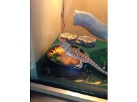 Bearded dragon, home made set up and 12 weeks old male