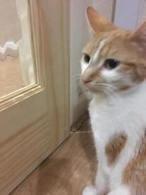 Ginger/white tabby