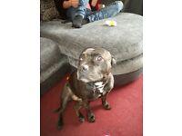 4 year old female Staffordshire Bull terrier, brindle.