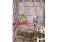 Yang Budgies for sale