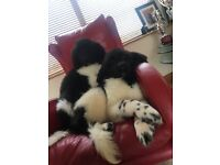 Newfoundland pups for sale