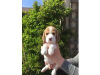 Quality Kennel Club Beagle Puppies