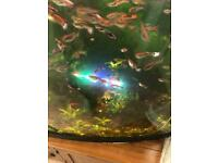 Guppies fishes various size bright colour healthy