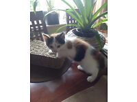 Female Black, Ginger and White Kitten for sale 40 Pounds