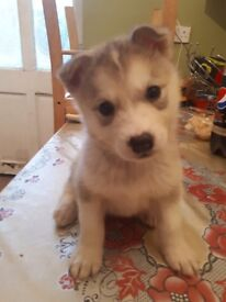 Im selling cute original husky puppy
