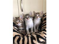 Burmese cross kittens