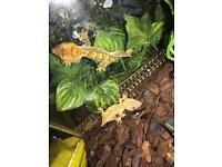 BABY CRESTED GECKOS FOR SALE