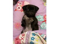 9 week old Pug Puppy