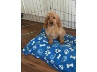 Cockapoo Boy Puppy Dad PRA Clear