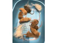 Baby mice for sale