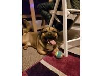 Jack Russel cross pug
