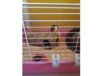 Guinea Pigs and cage/accessories