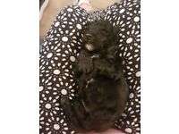 Poochon puppys for sale only 2 left 1 black boy 1 black girl ready on 19th june .