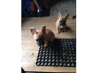 French Bulldog Puppies Looking new Home! ONLY one BOY LEFT!!