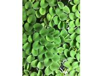 Salvinia Cucculata Floating Live Tropical Aquarium Plants