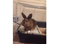Female Rabbit and Cage for Sale