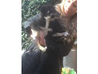 Collie cross pups