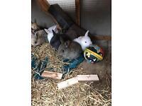 German giant baby rabbits