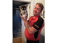 Husky puppy fir sale