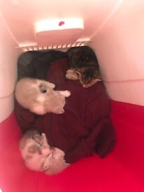 kittens 100£ each 🤙 zero seven four one five four zero two nine zero two