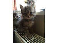 Persian cross ragdoll kittens