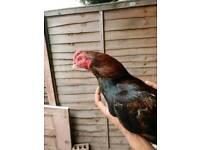 Aseel Chicken