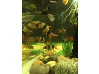 Collection of large Clown Loaches Loach for sale