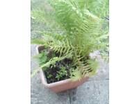 2 foot high fern in a pot