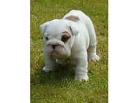 KC REGISTERED BULLDOG PUPPIES AVAILABLE FOR VIEWING NOW