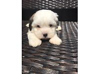 I have 10 shihpoo puppies for sale