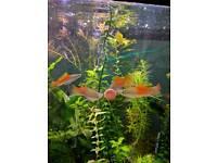 Neon Swordtails - tropical fish