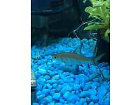Pair of Silver Sharks, tropical fish, very healthy