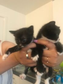 5 beautiful female kittens. 2 tortoise shell & 3 blacks & white