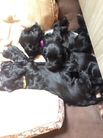 KC reg cocker spaniels only one girl left all health checks and jabs in place