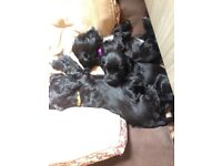 KC reg cocker spaniels only two girls left all health checks and jabs in place