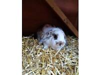 Male mini lop female lop and cages