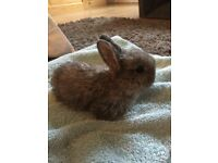 Netherland dwarf Cross Mini Dutch Kits