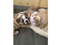 British bulldog puppies kc reg fawn and white for sale