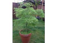 Garden plant sale! Hardy palm trees, hostas, Japanese acers, box hedging, etc