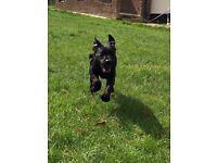 Male Labrador for sale