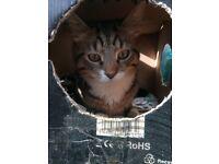 LOST CAT, REWARD £125