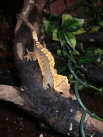 We have beautiful crested geckos for sale