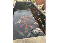 Full pond set up koi carp gold fish uv lights and pump