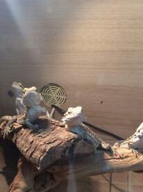 Bearded dragon babies. Available now!