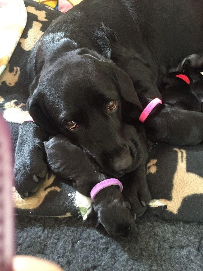Labrador Retriever 4 Sale 4 Beautiful, ch...