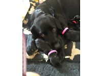 4 Beautiful, chunky,black, pedigree Labrador Retriever puppies for sale