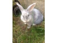 12 week old rabbit with two tier hutch